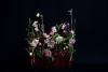 1.31-NHK「趣味の園芸」出演-テーマ「クリスマスローズ